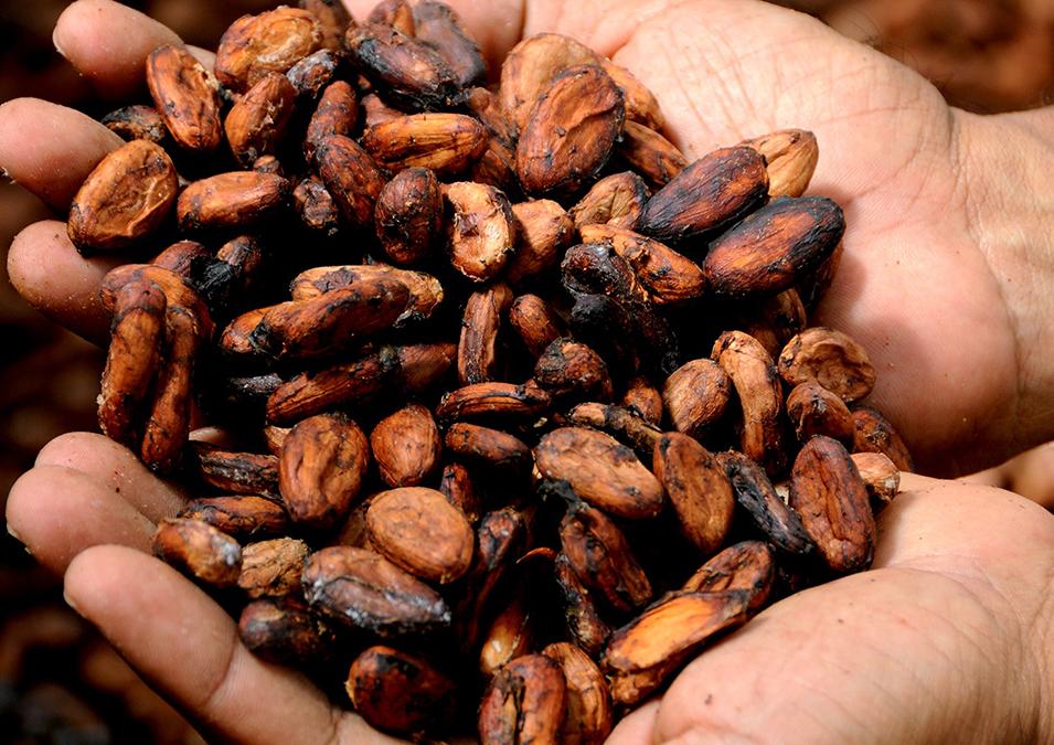 Mains pleines de fèves de cacao